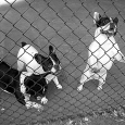 FrenchBulldogs